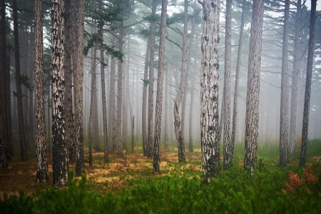 black and white forest: Mystery misty forest with green pine trees Stock Photo