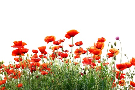 poppy leaf: Beautiful red poppies isolated on white background