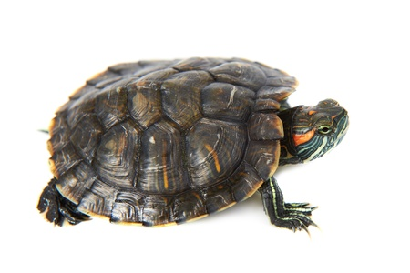 Red ear turtle isolated on white background photo