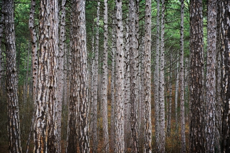 Mystery forest with big dark green pine trees photo