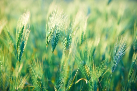 Field of grass on sunset  Nature background photo
