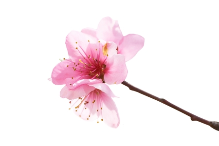 Almond pink flowers isolated on white  Macro shot 스톡 콘텐츠