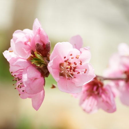 Almond pink flowers isolated on white  Macro shot photo