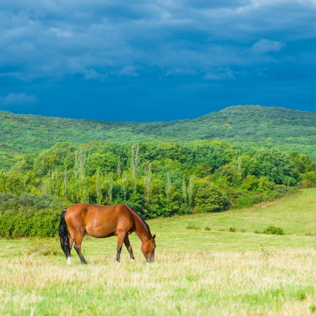 Dark bay horses in a meadow with green grass photo