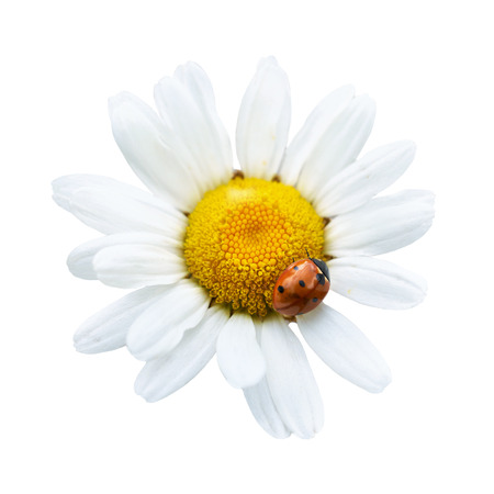 White daisy with ladybug isolated on white  photo
