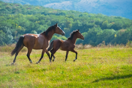 grazing land: Running dark bay horses in a meadow with green grass