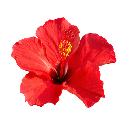 Red flower- Hibiscus rosa sinensis isolated on white  photo
