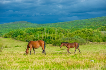 grazing land: Dark bay horses in a meadow with green grass