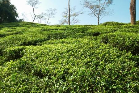 darjeeling: Tea green field in the Darjeeling highlands, India Stock Photo