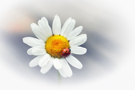 White flower daisy- camomile with red ladybug isolated on\ white