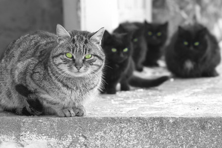 grey tabby: Group of cats with green glowing eyes sitting and looking at camera  Black and white image