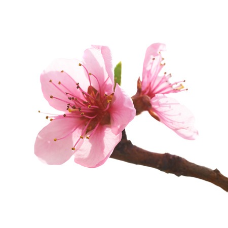 Almond pink flowers isolated on white  Macro shot Stock Photo
