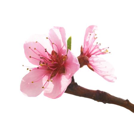 Mandel-rosa Blüten auf weißem Makroaufnahme