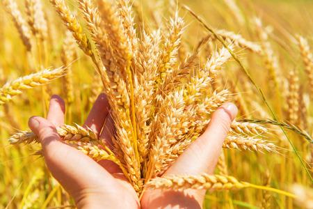 手の中の小麦。収穫時期、農業の背景