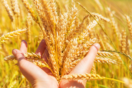 Wheat in the hands. Harvest time, agricultural background