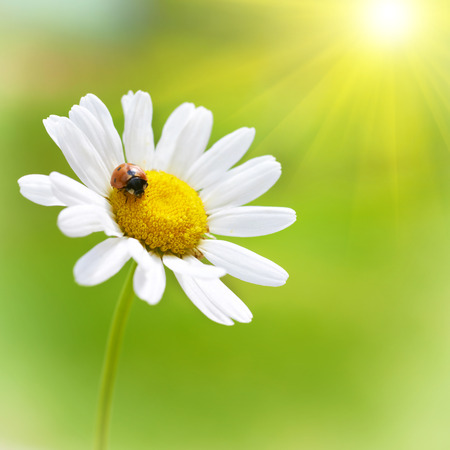 White flower daisy- camomile and red ladybug on green background with bright sun photo