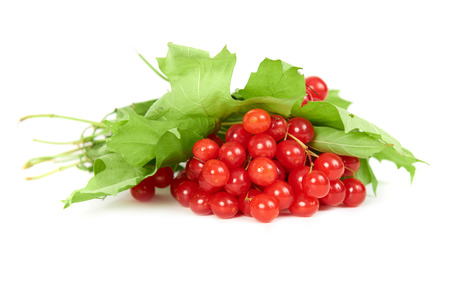 guelder rose: Bunch of red berries- guelder rose (Viburnum opulus) with green leaves isolated on white background