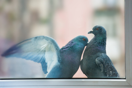 Couple of pigeons kissing behind the window photo