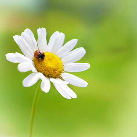 White flower daisy- camomile with red ladybug on green background photo