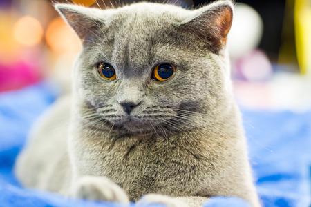 britan: Adorable britan gray cat with orange eyes sitting and looking at camera