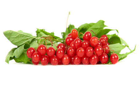 guelder: Bunch of red berries- guelder rose (Viburnum opulus) with green leaves isolated on white background