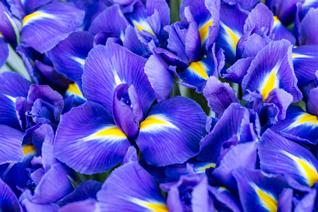 purple iris: Blue flower irises- nature spring sunny background. Soft focus with bokeh