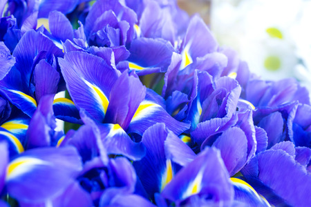 purple irises: Blue flower irises- nature spring sunny . Soft focus with bokeh Stock Photo