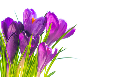 indigo: First spring flowers - bouquet of purple crocuses isolated on white with copyspace