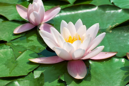 nymphaea: Beautiful pink water lily (Nymphaea alba) in the pond