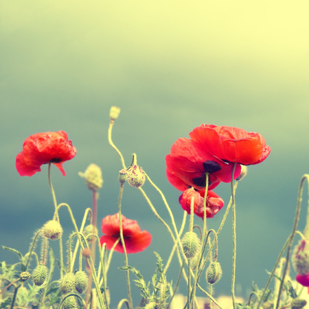 flor morada: Campo de amapolas rojas hermosas con la hierba verde.