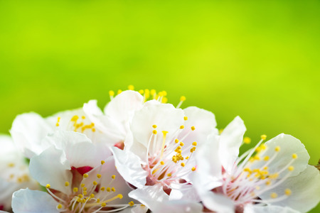 apfelbaum: Fr�hjahr bl�hende wei�e Fr�hlingsblumen auf einem Baum gegen weiche floral background