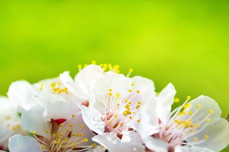 arbol de manzanas: Primavera en flor de las flores blancas de primavera en un �rbol contra el fondo floral suave Foto de archivo