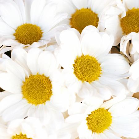 Bunch of white daisies photo