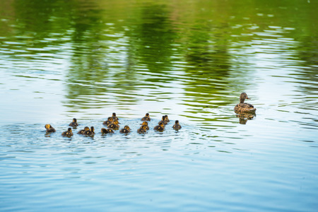 Duck family with many small ducklings swimming on the river Stockfoto