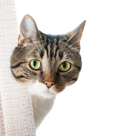 curiously: Little gray striped and curiously looking cat isolated on white background Stock Photo