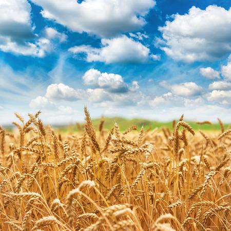 cultivo de trigo: Campo de trigo de oro cosecha fresca y el cielo azul con nubes