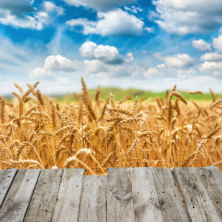 View from wooden bridge to gold wheat field fresh crop and blue sky with clouds