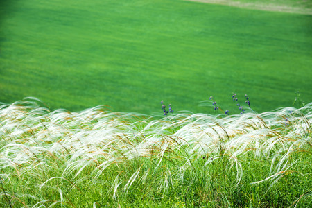 white feather: El campo de hierba de plumas sobre fondo verde campo Foto de archivo