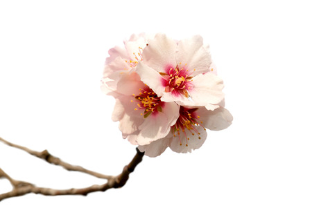 Almond tree pink flowers on branch isolated on white background
