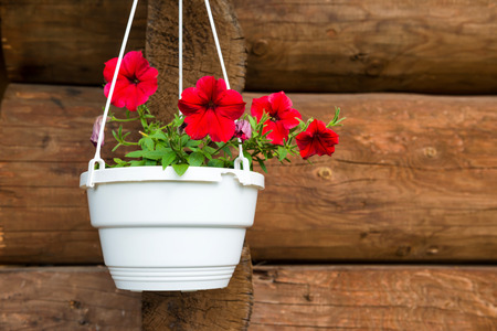 petunia: Red flower petunia in a white pot hanging on the old wooden wall Stock Photo