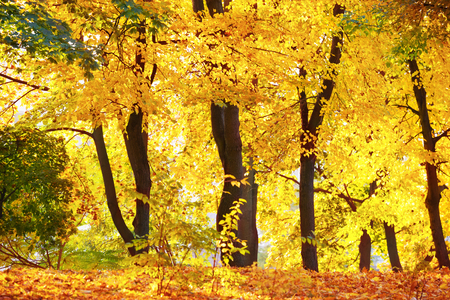 yellow trees: Autumn forest or park with bright yellow trees