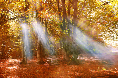 Fall in the forest. Trees with orange leaves and sunrays through fog