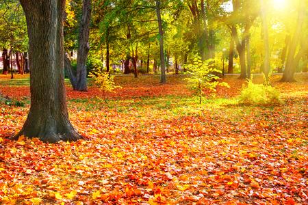 naranja arbol: Caída en el parque soleado, con árboles de color naranja brillante. Otoño paisaje natural