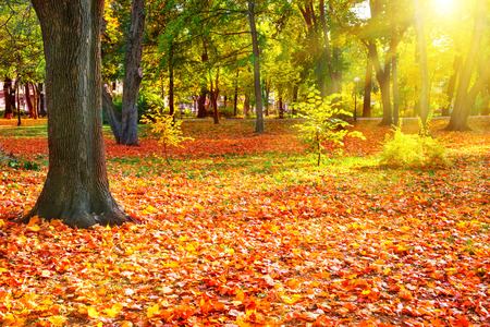 orange tree: Fall in the sunny park with bright orange trees. Autumn natural landscape