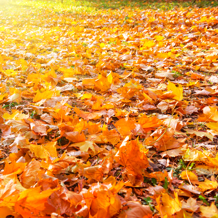 autumn leaves: Orange leaves in autumn park with sun light Fall seasonal background