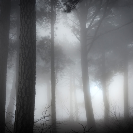 misty forest: Mystery misty forest with big dark pine trees
