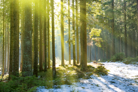 snow forest: Sun light in the winter forest with white fresh snow and pine trees