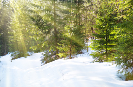 pine forest: Sun light in the winter forest with white fresh snow and pine trees