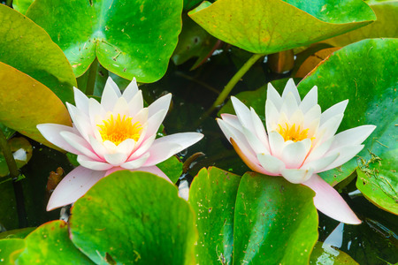 colorful water surface: White flowers- water lillies  with green leaves on the pond
