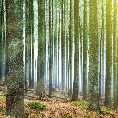 Sun light in the green forest with mysterious fog through pine trees Stock Photo